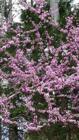 Redbud Tree Gorgeous Purple Flowers in Spring, Unusual Leaf