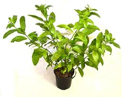 9GreenBox - One gal Night Blooming Jasmine Plant - Cestrum n