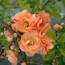 CAMEO Flowering Quince Unique and GORGEOUS Soft Peach Pink