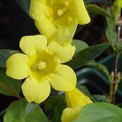 Carolina Jasmine- Fragrant Flowers, twining, evergreen vine
