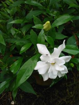 Frost Proof Gardenia- Fragrant Evergreen, Can Handle Late S
