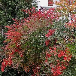 Heavenly Bamboo - Size: 1 Gallon  - Live Plant