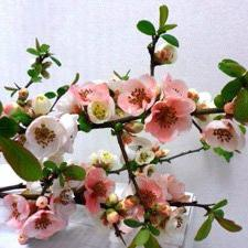 TOYO-NISHIKI Flowering Quince, Elegant and Unusual Spring B