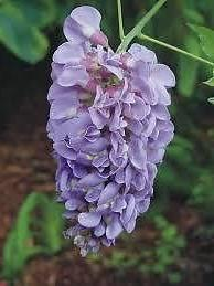 1 gallon) Wisteria -Great for Arbors/trellis, Big, Blue, Fra