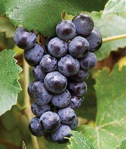 MARS Seedless Grape Vine, Mars is a blue seedless grape, go