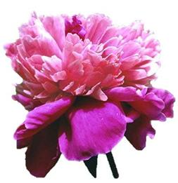 Pink Pompadour Peony/Peonies - 3-5 Eyes - Heavy Potted - Per