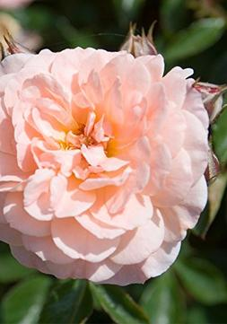 ROSE DRIFT APRICOT, from makers of Knockout Rose, BLOOMS 9 M