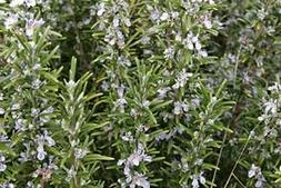 Rosemary, Perennial, Erect Shrub with Fine Olive-green Foli
